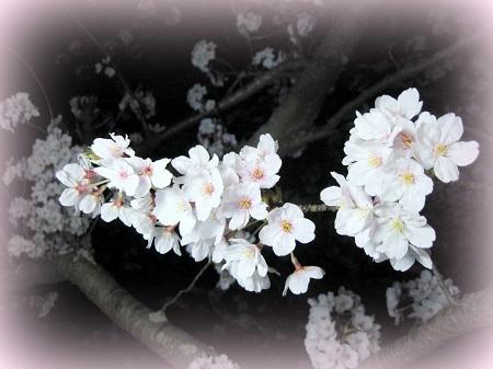 20150330花見5.jpg