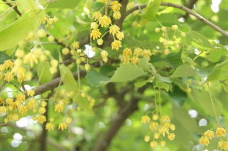 20110614菩提樹2_1_1.jpg