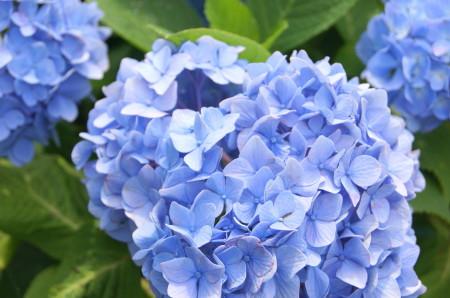 戒壇院の紫陽花5_1.jpg