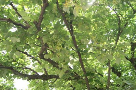 20130605菩提樹5_1.jpg