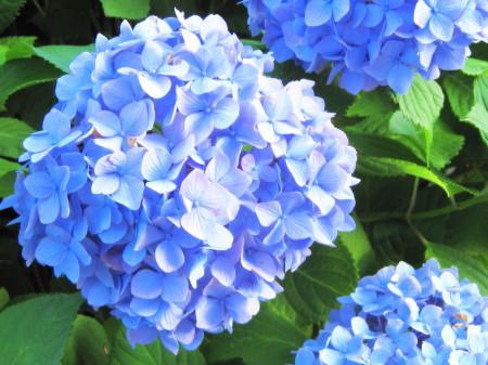 20130611紫陽花3_1.jpg