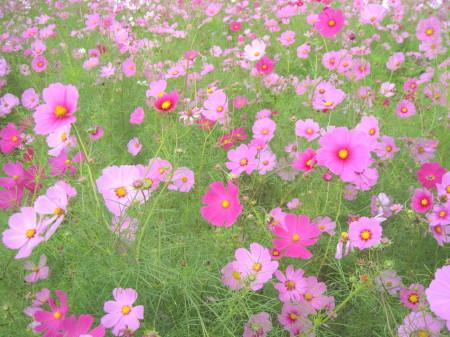 20131021水城のコスモス 3_2_1.jpg