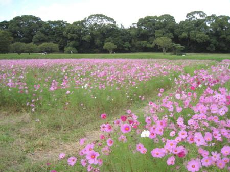 20131021水城のコスモス_1_1.jpg