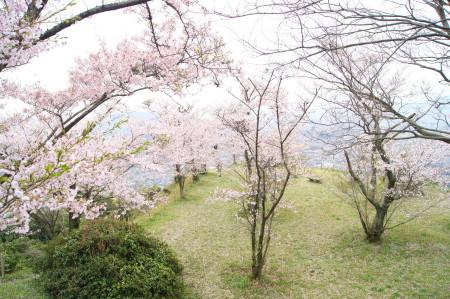 2014大野城跡桜8_1.jpg