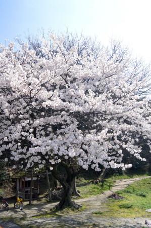 2014水城跡の桜1_1.jpg