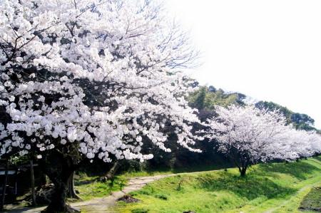 2014水城跡の桜2_1.jpg