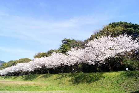 2014水城跡の桜6_1.jpg