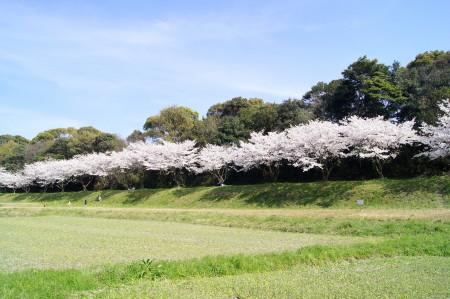 2014水城跡の桜9_1.jpg