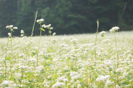 2014蕎麦の花7_1.jpg