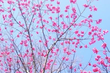 20150317緋桜2.jpg