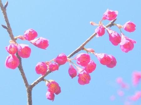 20150317緋桜3.jpg