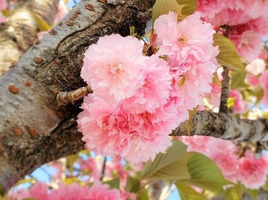 大佐野の八重桜 - コピー.jpg
