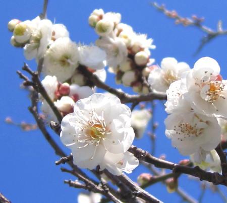 天満神社梅021020134_1.jpg