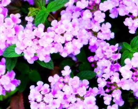 紫ランタナ - コピー.JPG