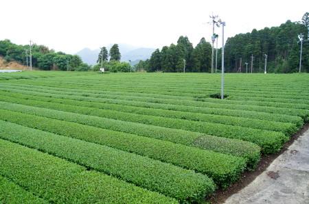 茶畑1_1.jpg