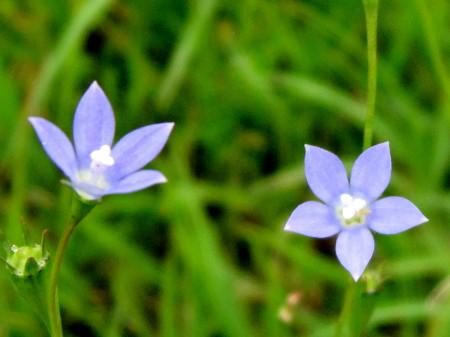 青い小さな星の花1_1.jpg