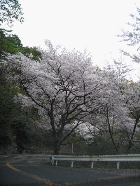 siojisakura4_1.jpg