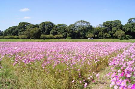 2011.10.26水城のコスモス3_1.jpg