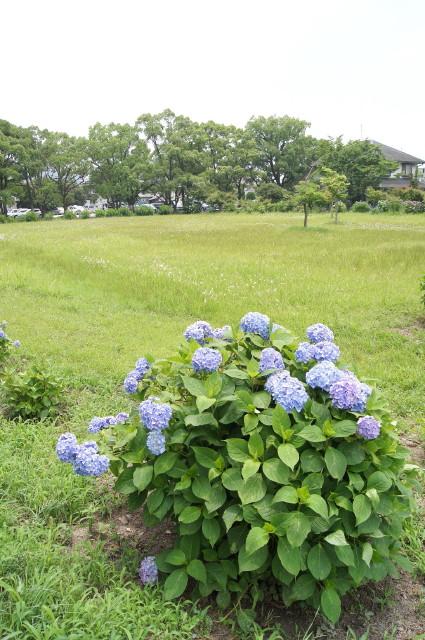 戒壇院の紫陽花3_1.jpg
