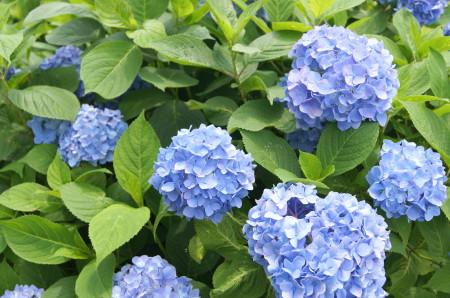 戒壇院の紫陽花4_1_1.jpg
