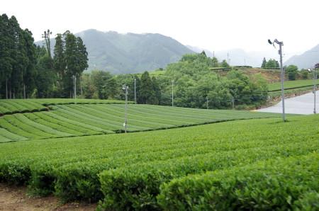 茶畑2_1.jpg